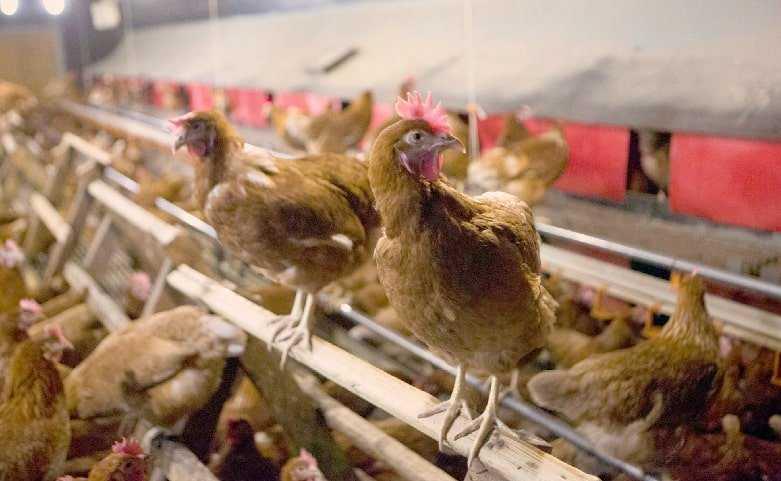 perchas en gallineros