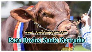 Raza Bovina Santa Gertrudis