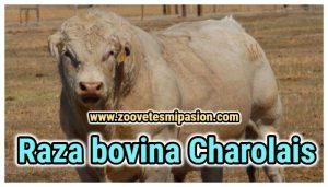 Raza bovina Charolais