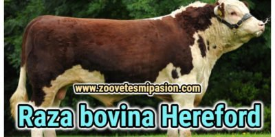 Raza bovina Hereford