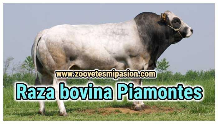 Raza bovina Piamontes