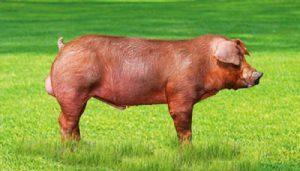 Raza de cerdo Duroc
