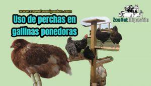 Uso de perchas en gallinas ponedoras