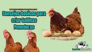 consejos básicos para criar gallinas ponedoras