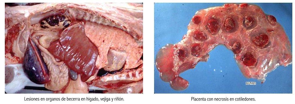 Leptospirosis bovina