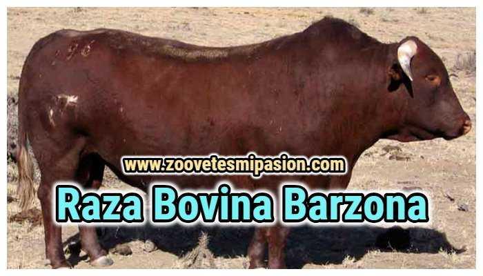 Raza Bovina Barzona