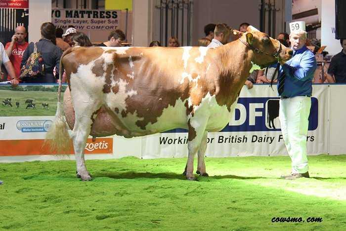 Vaca Ayrshire
