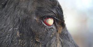 Queratoconjuntivitis infecciosa bovina