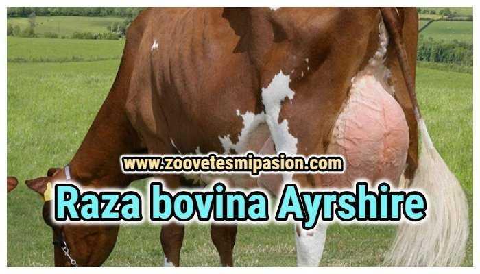 Raza bovina Ayrshire