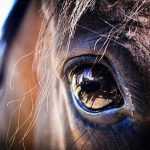 sentido de la vista del caballo