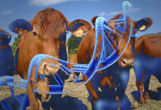 mejoramiento genetico en ganado lechero