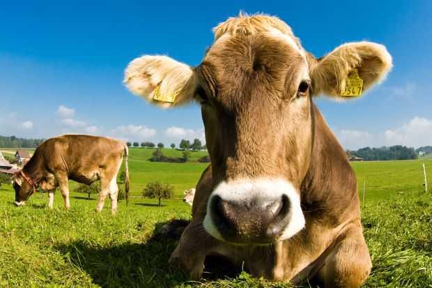 Ántrax en bovinos