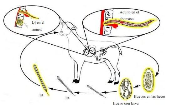 Ciclo de vida de Haemonchus contortus