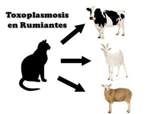 Toxoplasmosis en Rumiantes