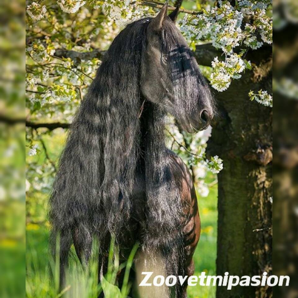 capa azabache del caballo