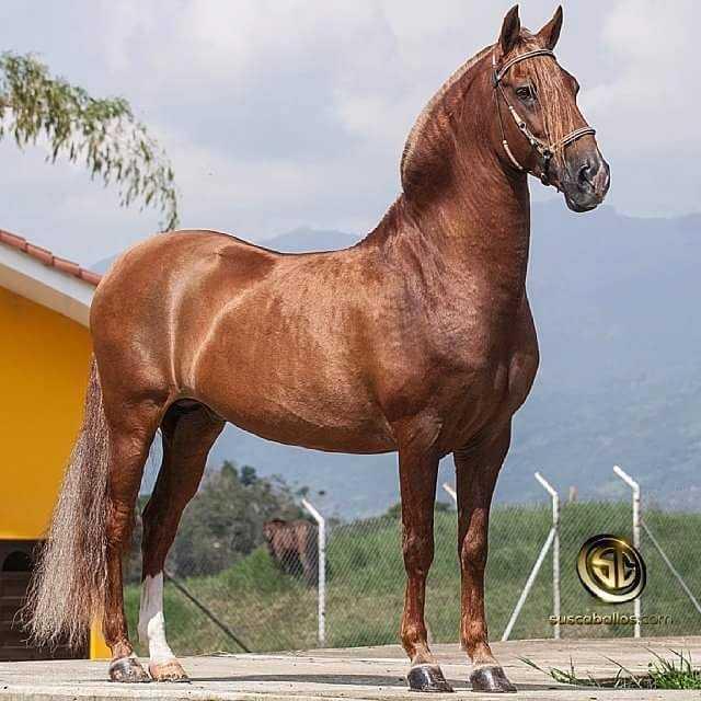 capa del caballo alazan