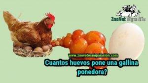 cuantos huevos pone una gallina ponedora