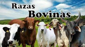razas de ganado