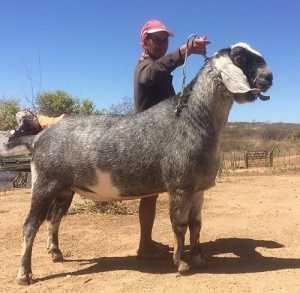 Cabra Anglo nubiana