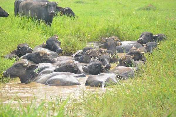 Habitab del bufalo