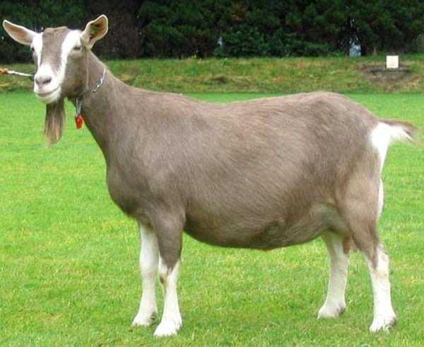 cabras lecheras Raza Toggenburg