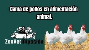 Cama de pollos en alimentación animal.