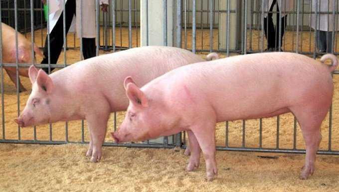 Pubertad en cerdos