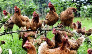 Formulas para dietas en gallinas