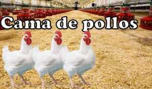 Cama de pollos