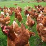 dietas para gallinas