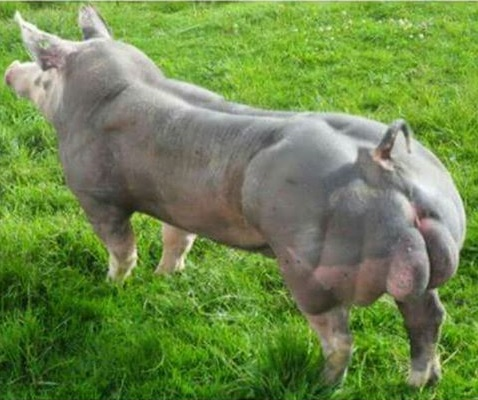 Razas de cerdos