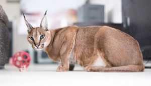 gatos hibridos