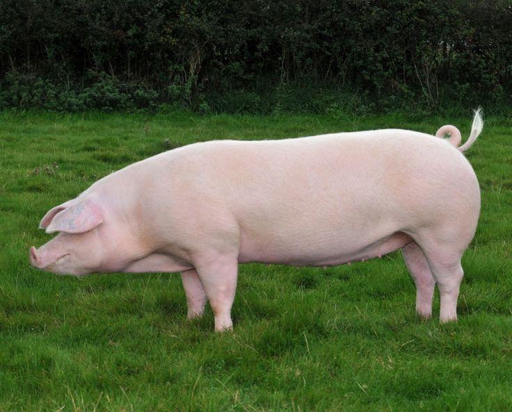 Raza de cerdo Landrace