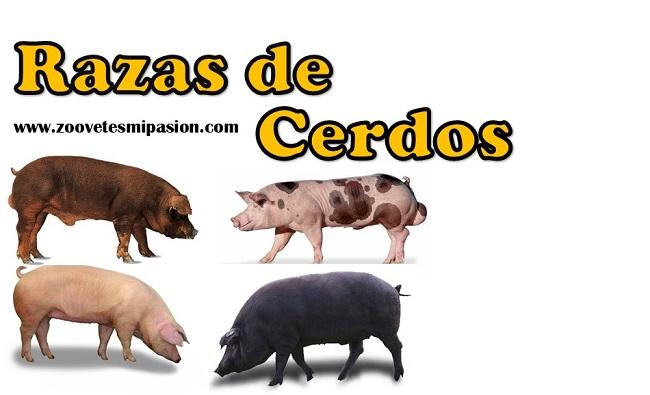 Rezas de cerdos