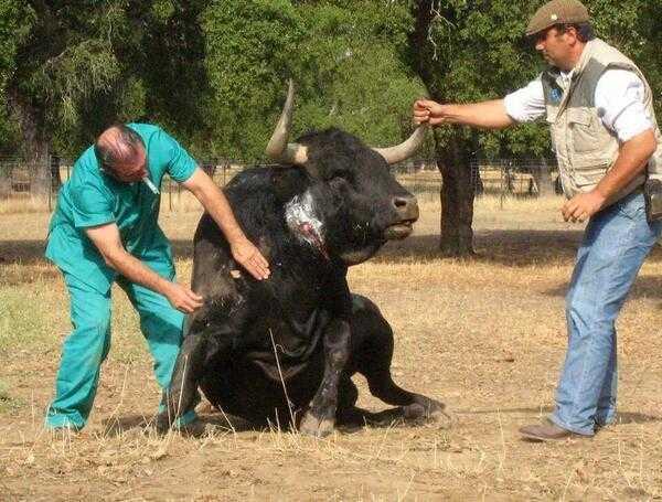 salud del toro