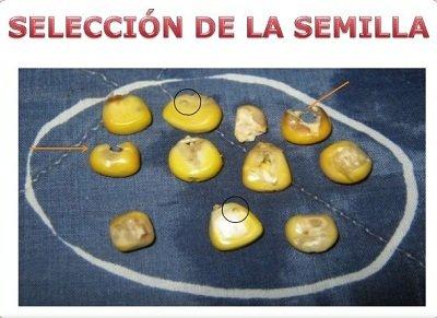 seleccion de semillas