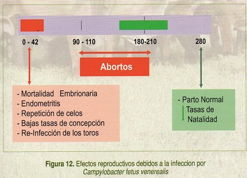Campilobacteriosis Bovina (1)