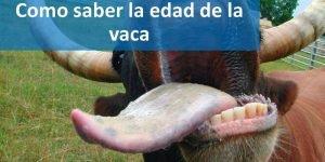 Como saber la edad de la vaca por los dientes
