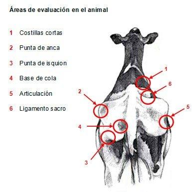 Condicion corporal de la vaca