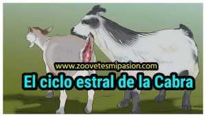 El ciclo estral de la Cabra