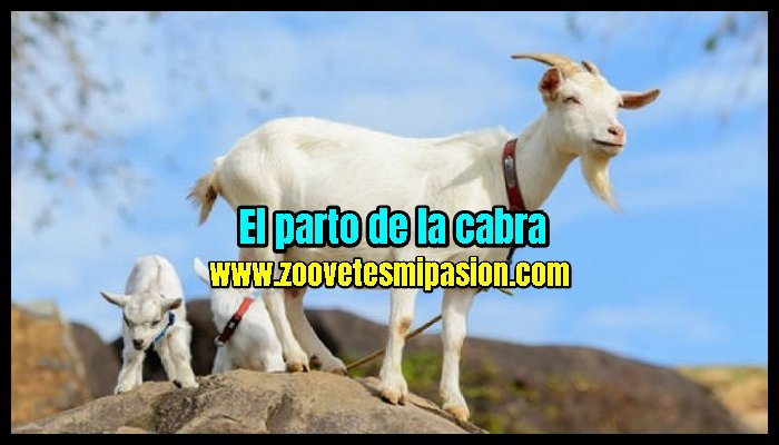 El parto de la cabra