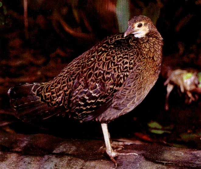 Gallus Varius hembra