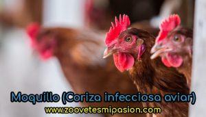 Moquillo (Coriza infecciosa aviar)