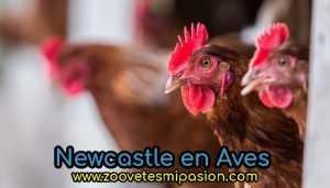 Newcastle en Aves