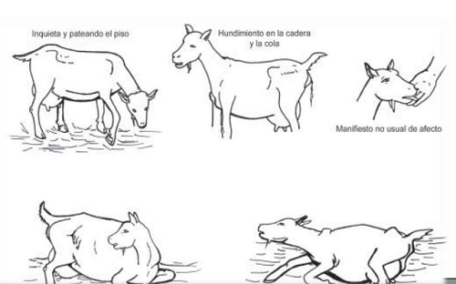 Parto de la cabra 2