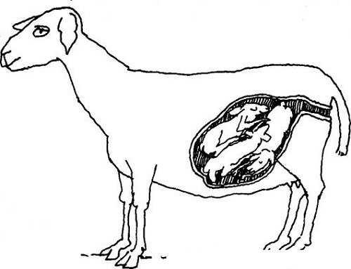 cabra en gestacion