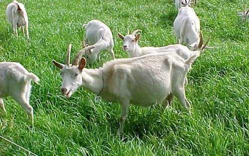 cabras en pastoreo