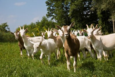 cabras gregario