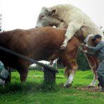 Efectos en la fertilidad del toro