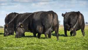 GANADERÍA Cuál es la mejor vaca para producir becerros?